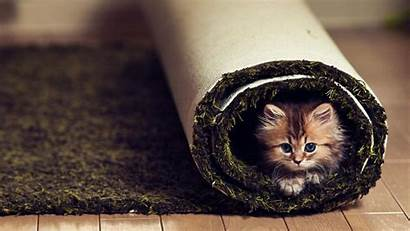 Funny Animals Carpet Cats Kittens Wallpapers Face