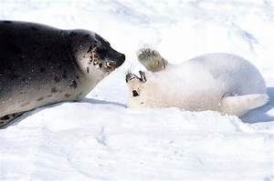 Life of Harp Seal | Life of Sea