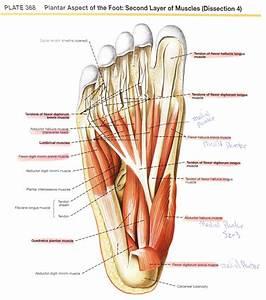 Foot Anatomy Plantar