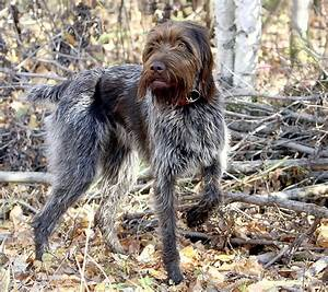 Wire haired pointing griffon | Dogs!! | Pinterest | Birds ...