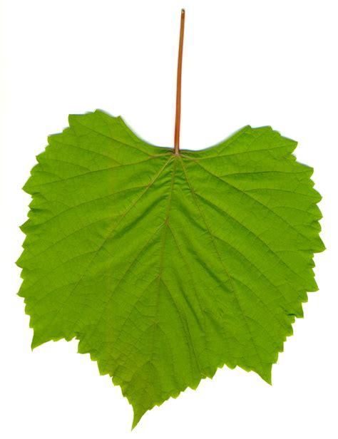 grape leaves file grape leaf 01 jpg