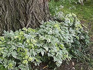 Couvre Sol Vivace : installer un couvre sol sous un arbre couvre sol tache ~ Premium-room.com Idées de Décoration