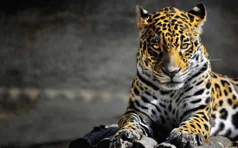 introducing the jaguar and allies 2 0 the jaguar