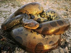 WHAT IS THE BIGGEST SNAKE IN THE WORLD? |The Garden of Eaden