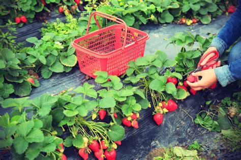 fragole in vaso coltivazione coltivare fragole in vaso nell orto ed a casa in balcone