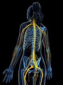 Spinal Cord and Peripheral Nervous System