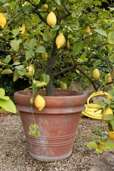 lemon tree in pot care 1000 images about lemons trees orange trees on how to grow lemon and lime trees