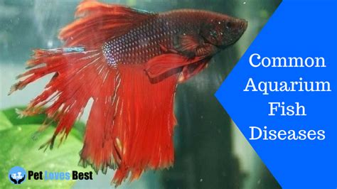 common aquarium fish diseases symptoms cure pet
