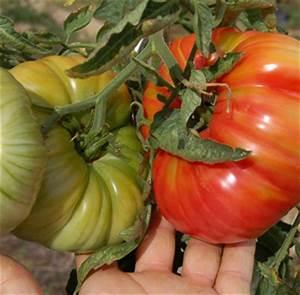 Planter Des Graines De Tomates : quand planter tomates ~ Dailycaller-alerts.com Idées de Décoration