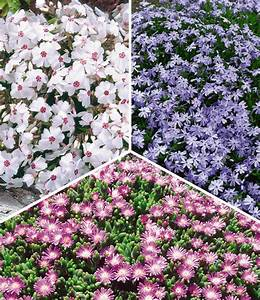 Bodendecker Blaue Blüten : bodendecker kollektion top qualit t online kaufen baldur garten ~ Frokenaadalensverden.com Haus und Dekorationen