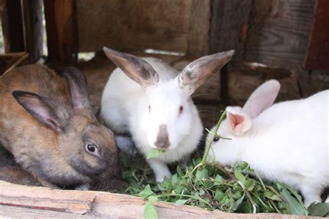 pet rabbits  sale    clarendon kingston st