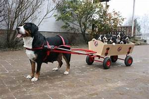 Greater Swiss Mountain dog pulling her pups in a wagon : aww