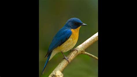4 burung murai hijau jawa terlangka di dunia lahir di inggris. Download 76+ Gambar Burung Langka Keren Gratis