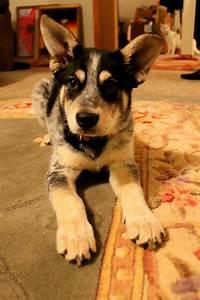 i raise you one husky/blue heeler/german shepherd mix ...