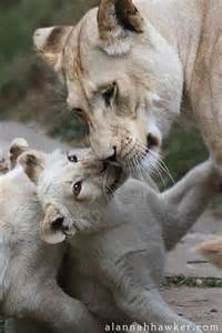White Lion Cubs and Mama