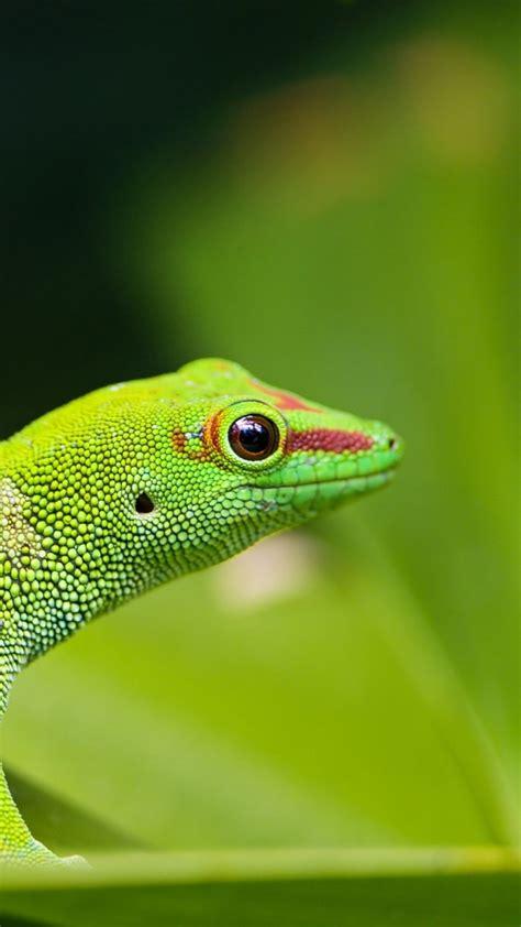 wallpaper gecko reptile green  animals