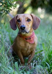 "Shelter Dogs of Portland: ""KIWI"" outgoing Dachshund ..."