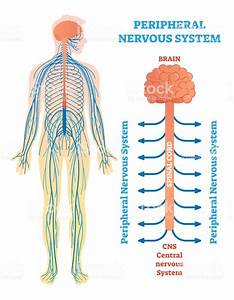 Peripheral Nervous System Medical Vector Illustration Diagram With Brain Spinal Cord And Nerves