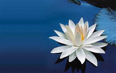 Lotus Graphic Flower Desktop Wallpaperaccess Backgrounds Wallpapers