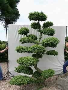 ulmus minor 39jacqueline hillier39 h 280 cm b 200 cm With whirlpool garten mit thuja bonsai kaufen