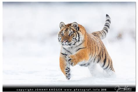 tiger und fuchs im schnee tierfoto traum