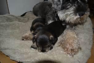 Miniature Schnauzer Puppies Sale