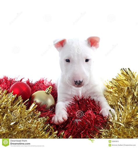 pretty bull terrier pet on a christmas ornaments stock image image 32853815