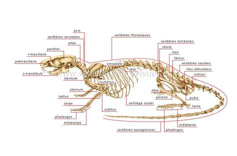 rat en anglais r 232 gne animal gt mammif 232 res rongeurs et lagomorphes gt rongeur gt squelette du rat image