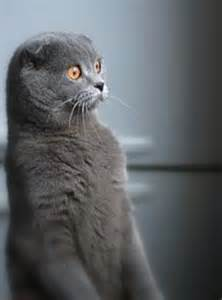 Grey Cat with Little Ears