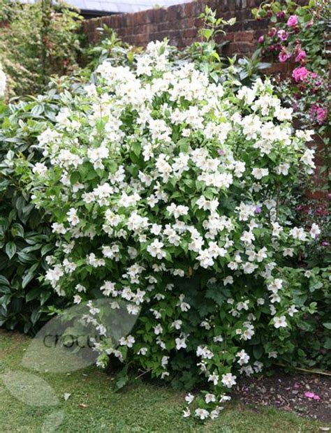 25 best ideas about white flowering shrubs on