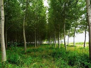 Arbres A Pousse Tres Rapide : la biotechnologie fait pousser des arbres plus grands ~ Premium-room.com Idées de Décoration