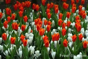 Holland Netherlands Tulips