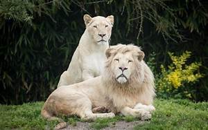 White lions wallpaper | animals | Wallpaper Better