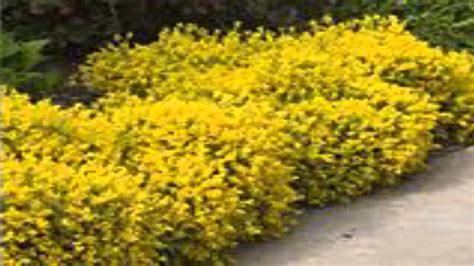 forsythia shrubs forsythia shrubs for sale youtube