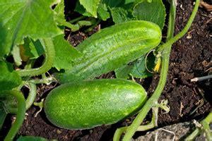 Gurken  Anbau Und Pflege Von Gurkenpflanzen