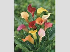 Zantedeschia Assorted 4 bulbs per pack Hadeco
