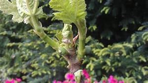 Feigenbaum Im Kübel : feigen sorten erfahrungen winterh rte ~ Lizthompson.info Haus und Dekorationen