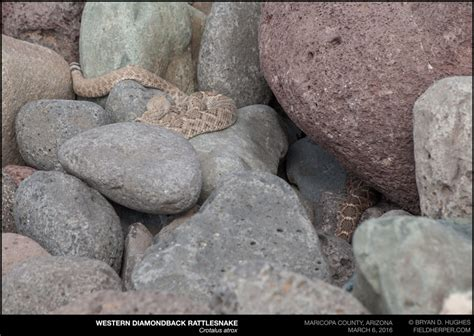 western diamondback rattlesnake   common snake