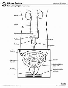 Male Urinary Organ Anatomy  U2022 Author  Patrick Joseph Fox Jr