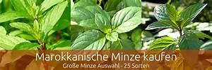 Kann Man Minze Einfrieren : marokkanische minze tee und mehr ~ Lizthompson.info Haus und Dekorationen