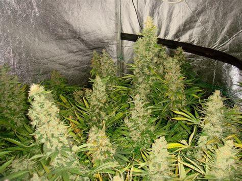 culture de cannabis avec les engrais metrop du growshop alchimia