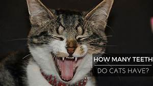 How Many Teeth Do Cats Have   With Images