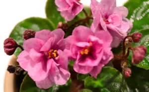 Miniature African Violet Plants