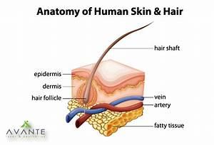Human Hair Anatomy