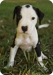Pics For > Snoopy Beagle