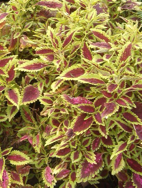 buy coleus plants wholesale coleus at summerhill nurseries monbulk victoria