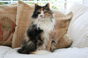 forest cat rescue 3 forest cats needing forever homes eastleigh