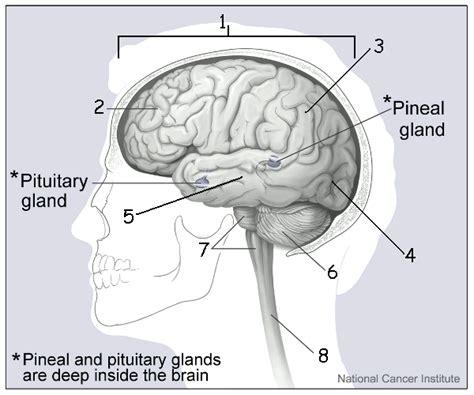 Label Brain Diagram by Brain Labeling Quiz World Of Exle