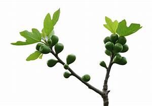 Feigenbaum Im Kübel : feigenbaum pflege darauf sollten sie achten ~ Lizthompson.info Haus und Dekorationen