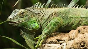 4 Green Iguana HD Wallpapers | Backgrounds - Wallpaper Abyss